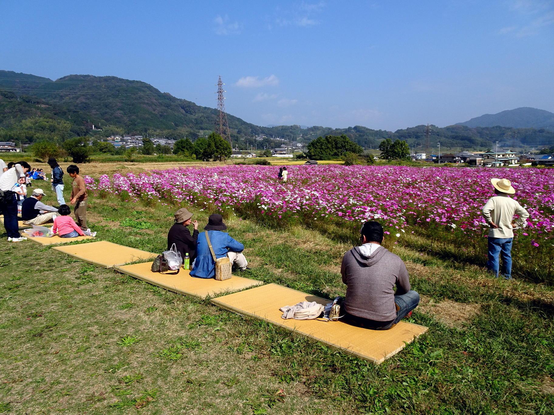木津川市かもまつり会場横のコスモス畑